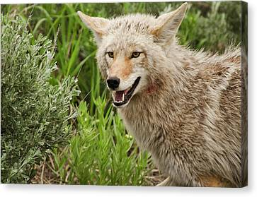 Coyote Hunting Canvas Print by Bjbowne