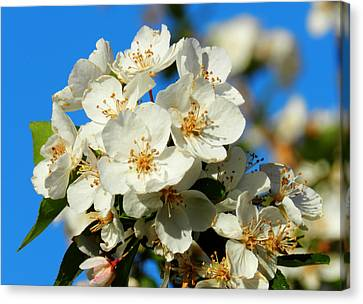Crab Apple Blossom Macro 001 Canvas Print by Lance Vaughn