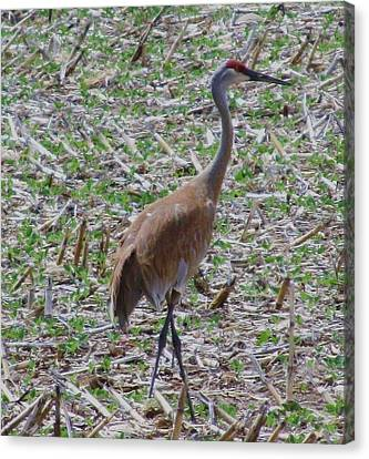 Crane In Corn Field Canvas Print by Todd Sherlock