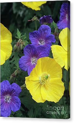 Cranesbill And Iceland Poppy Flowers Canvas Print by Archie Young