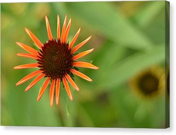 Crazy Coneflower Patch Canvas Print by Maria Suhr