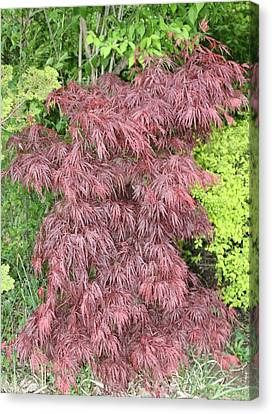 Crimson Waterfall A Japanese Maple Canvas Print by James Collier