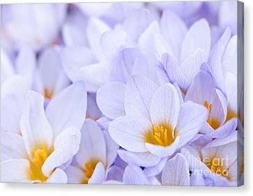 Crocus Flowers Canvas Print by Elena Elisseeva