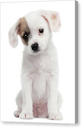 Cross Breed Puppy (2 Months Old) Canvas Print by Life On White