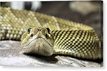 Crotalus Basiliscus Canvas Print by JC Findley