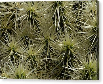 Cylindropuntia Tunicata Close-up Of Cactus Spikes, Lanzarote Canvas Print by Suzie Gibbons