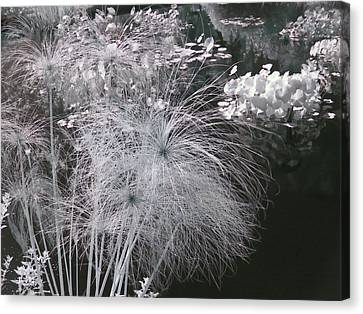 Cyperus Papyrus Canvas Print by Christine Till