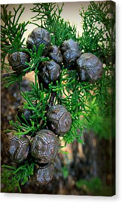 Cypress Seed Pods Canvas Print by Cindy Wright