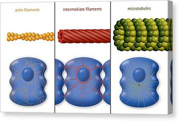Cytoskeleton Components, Diagram Canvas Print by Art For Science