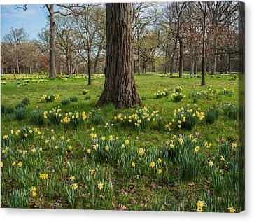 Daffodil Glade Number 2 Canvas Print by Steve Gadomski