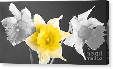 Daffodil Trio  Canvas Print by Cheryl Young