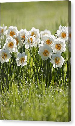 Daffodils In The Dew Covered Grass Canvas Print by Susan Dykstra