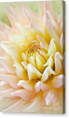 Dahlia Flower 03 Canvas Print by Nailia Schwarz