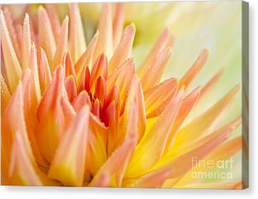 Dahlia Flower 06 Canvas Print by Nailia Schwarz