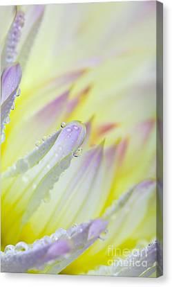 Dahlia Flower 07 Canvas Print by Nailia Schwarz