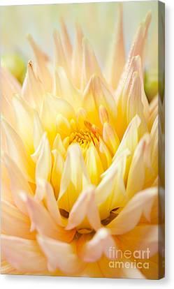 Dahlia Flower 10 Canvas Print by Nailia Schwarz