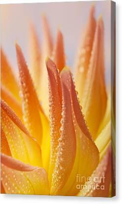 Dahlia Flower 14 Canvas Print by Nailia Schwarz
