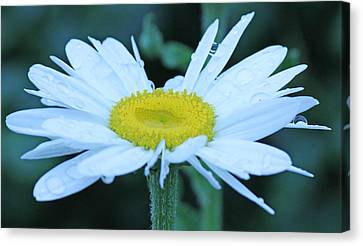 Daisy After The Rain Canvas Print by Becky Lodes