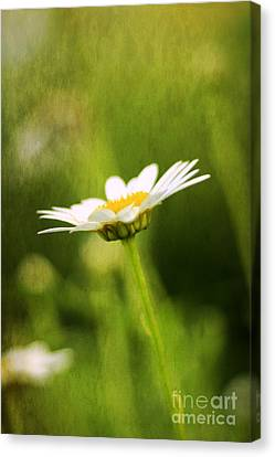 Daisy Canvas Print by Darren Fisher