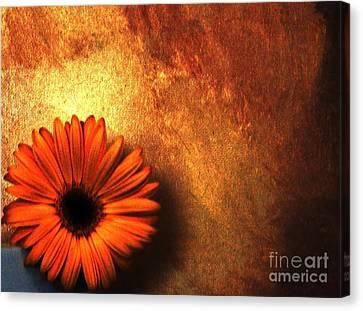 Daisy In A Corner Canvas Print by Marsha Heiken
