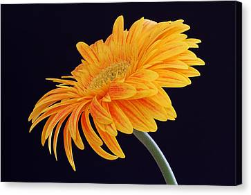 Daisy Of Joy Canvas Print by Juergen Roth