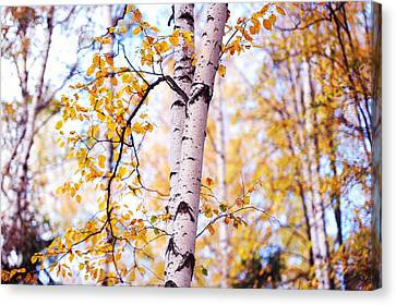 Dancing Birches Canvas Print by Jenny Rainbow