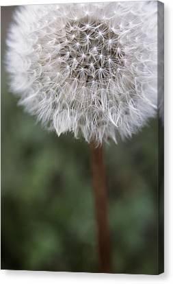 Dandelion Seed Head Canvas Print by Maxine Adcock