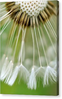 Dandelion Seeds Canvas Print by Laurianne Garraud
