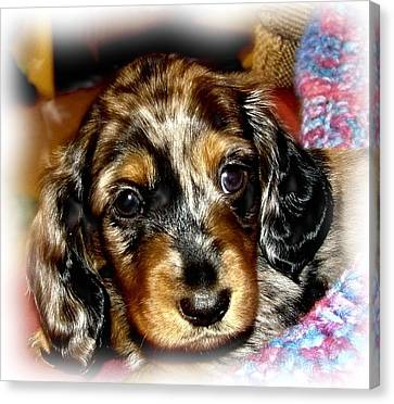 Dapple Dachshund Pup Photograph By Victoria Sheldon