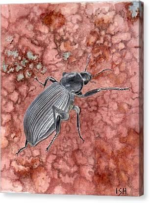 Darkling Beetle Canvas Print by Inger Hutton