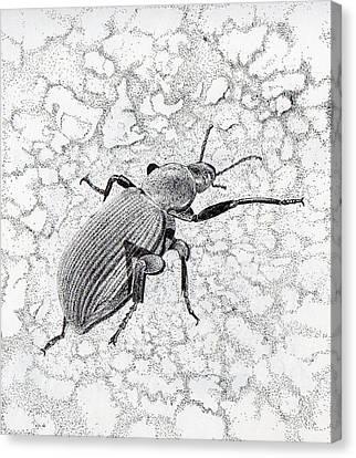 Darkling Bug Canvas Print by Inger Hutton