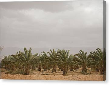 Date Palm Trees In An Orchard Canvas Print by Taylor S. Kennedy