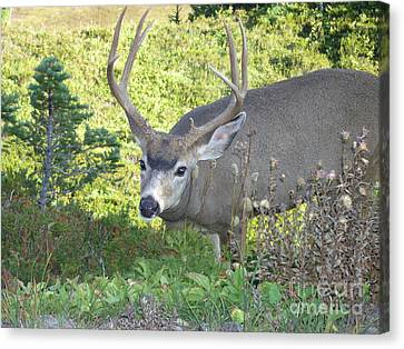Deer Without Headlights Canvas Print by Silvie Kendall