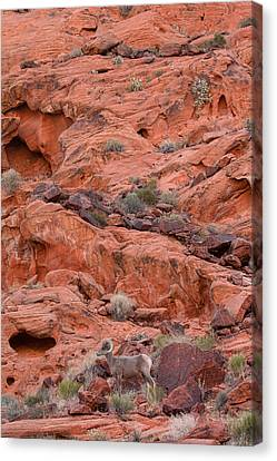 Desert Bighorn And Landscape Canvas Print by Nathan Mccreery