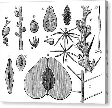 Devonian Fruits, 19th Century Artwork Canvas Print by