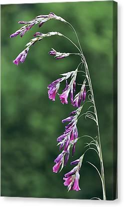 Dierama Pulcherrimum In Flower Canvas Print by Colin Varndell