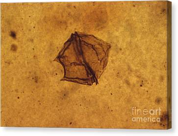 Dinoflagellate Fossil Canvas Print by Eric V. Grave