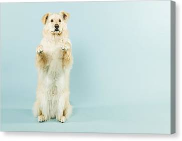 Dog Begging Canvas Print by Grove Pashley