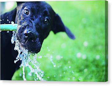 Dog Drinking From A Water Hose Canvas Print by Crissy Kight / www.dearcrissy.com