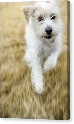 Dog Running Canvas Print by Darwin Wiggett