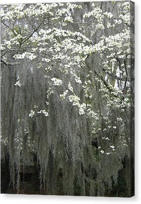 Dogwood And Spanish Moss Canvas Print by Susan Richardson