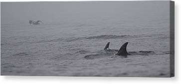 Dolphins In The Mist  Canvas Print by Bruce J Robinson