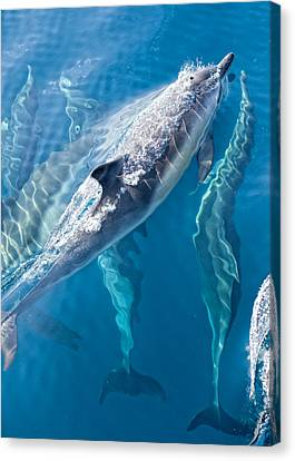 Dolphins Life Canvas Print by Steve Munch