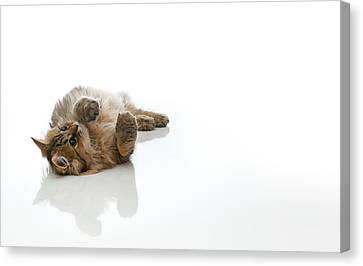 Domestic Cat Canvas Print by Benjamin Torode