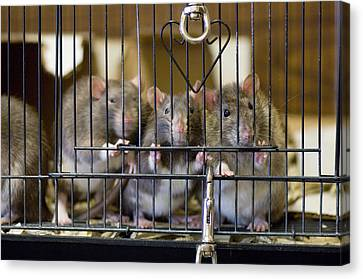Domestic Rats At The Sutton Avian Canvas Print by Joel Sartore