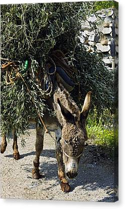 Donkey Carrying Olive Branches Canvas Print by Bob Gibbons