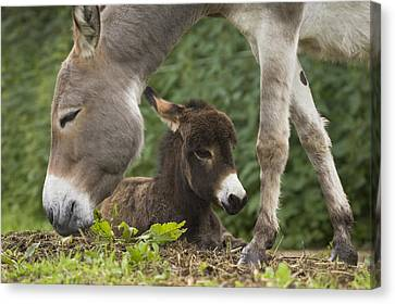 Donkey Equus Asinus Adult With Foal Canvas Print by Konrad Wothe