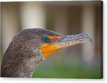 Double-crested Cormorant Canvas Print by Rich Leighton