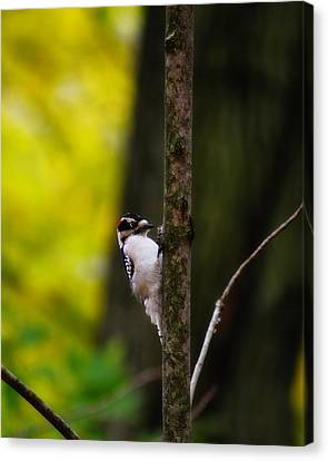 Downy Woodpecker Canvas Print by Scott Hovind