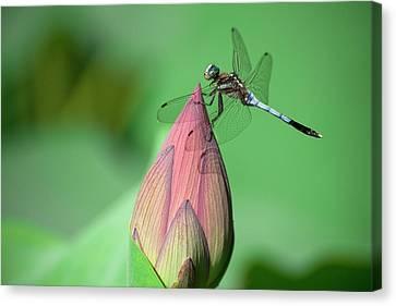 Dragonfly And Lotus Bud Canvas Print by masahiro Makino